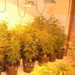 frignano-marijuana